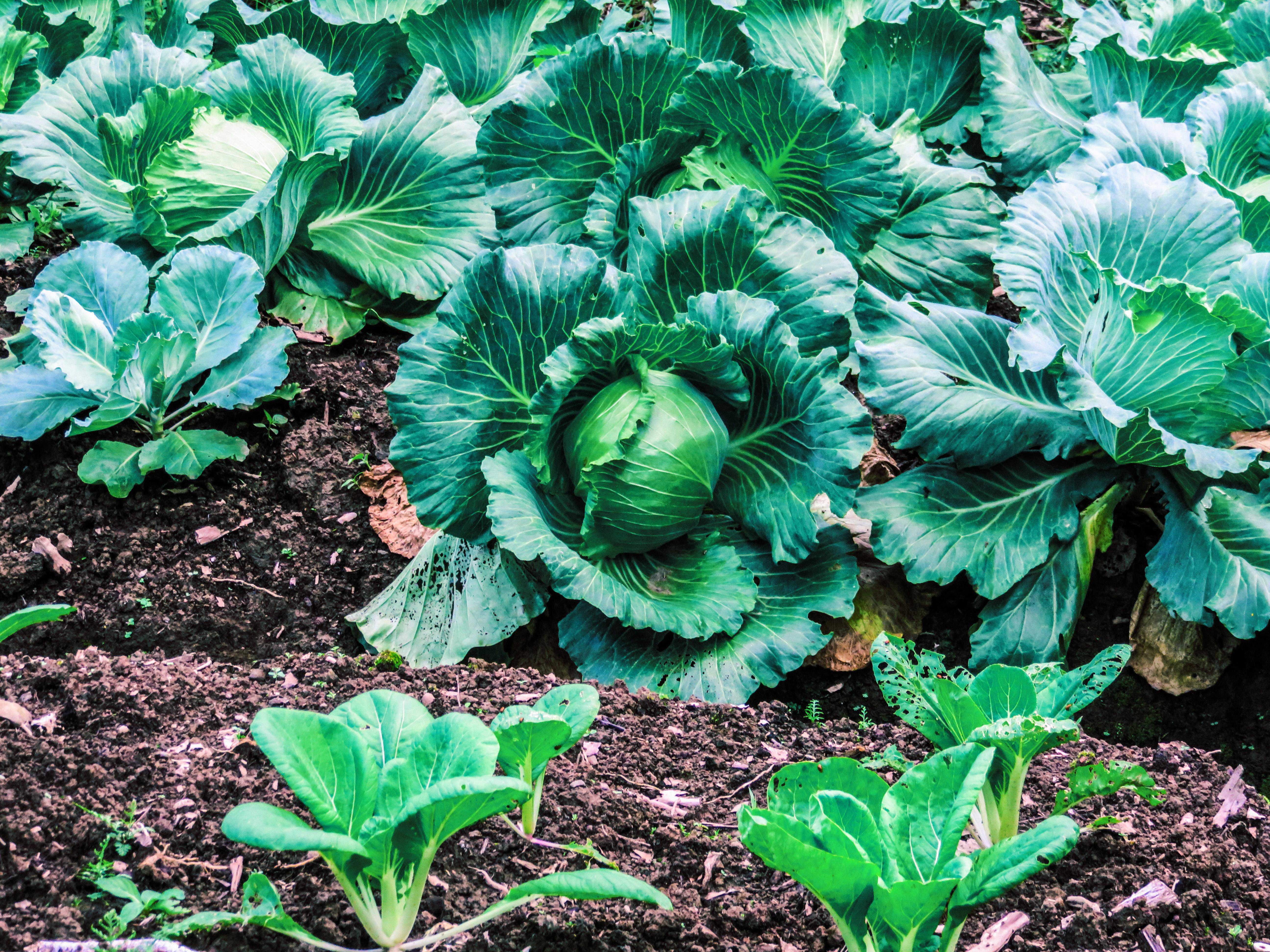 Misima cabbage plots by Jerad_edited2